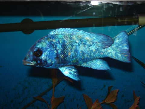 African Cichlid Database | Placidochromis Genus