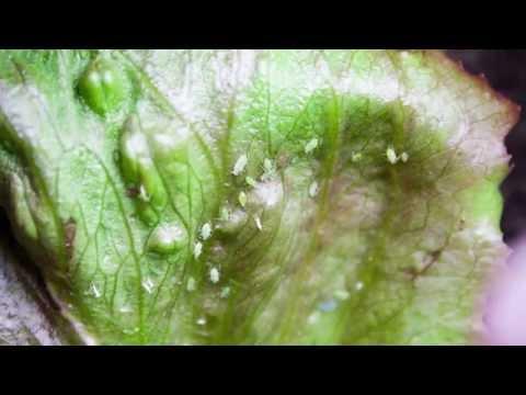 Bug Control Homemade Bug Spray For Vegetable Plants Doovi