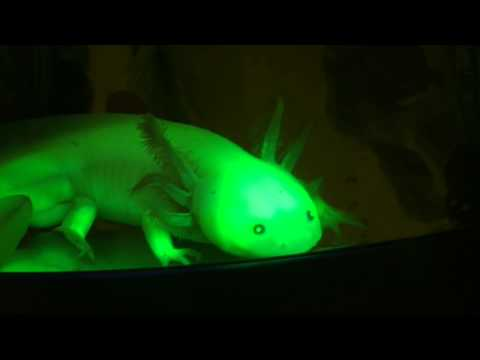 Connecticut College Chemistry: Genetically Modified Glowing Axolotls