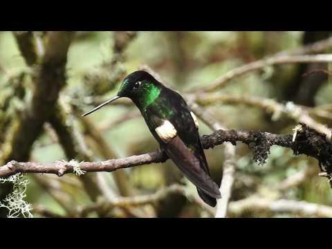 Birding Buff winged Starfrontlet / Birds of Colombia