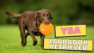 All Dogs Breeds - Labrador Retriever Dog Breed Information And Personality