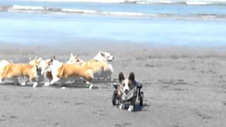 Wheelcorgis At The Beach