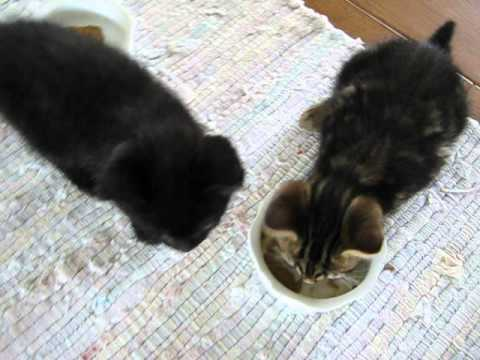 The Science of Cats - 2 month old kittens eating Stella & Chewy's raw food, species appropriate!