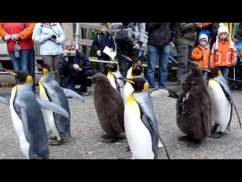 King Penguin Parade 1