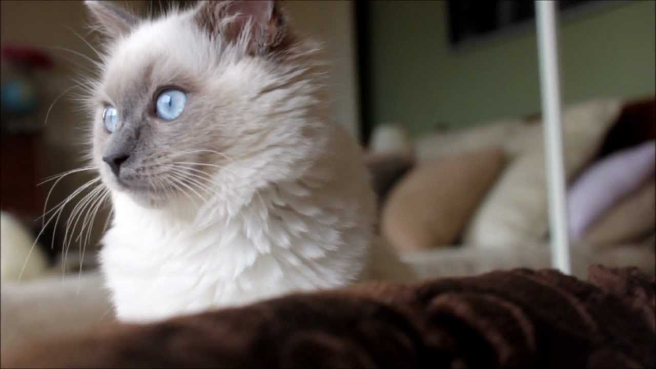 Ragdoll Kitten Lucy At 18 Weeks Old Youtube