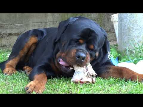 Rottweiler cleaning teeth with bone