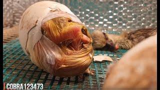 صعوبة تفقيس بيض الوز وهل رأيت من قبل فرخ الوزه يريد الخروج من البيضه مع جمال العمواسي