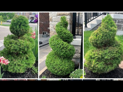 How my husband Prune Topiary - Boxwood, Dwarf Alberta Spruce & White Globe Cedar - May 2021