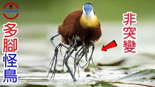 [TOP3]能在水面上行走的多腳怪鳥 | 世界上最邪惡的鳥類 | 耶穌之鳥的真面目