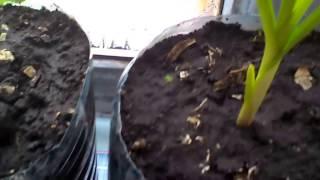 видео Как вырастить чеснок в домашних условиях на подоконнике