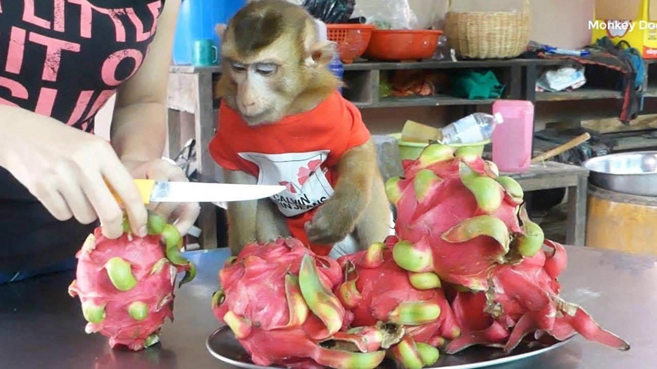 Cute Monkey, Dodo Waiting Mom Cut Dragon Fruits With Good Behavior