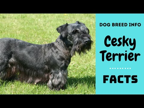 Cesky Terrier dog breed. All breed characteristics and facts about Cesky Terrier
