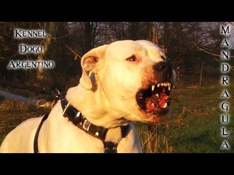Dogo Argentino, Female, Protection Test (min. 1.39'') - Mandragula Dogo Argentino