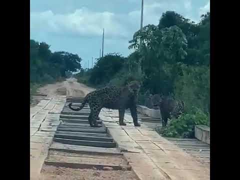 Vídeo de onças-pintadas caminhando em estrada em  Santo Antônio do Tauá