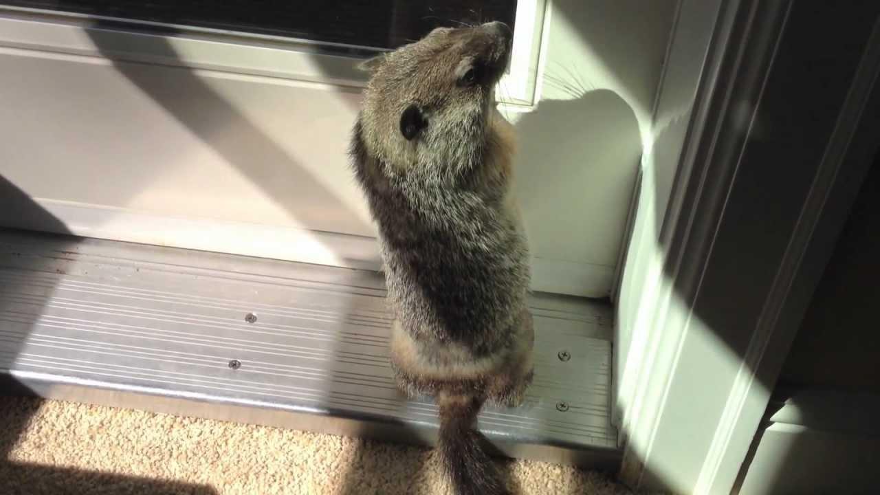 Cute Baby Pet Groundhog Part 5 Youtube