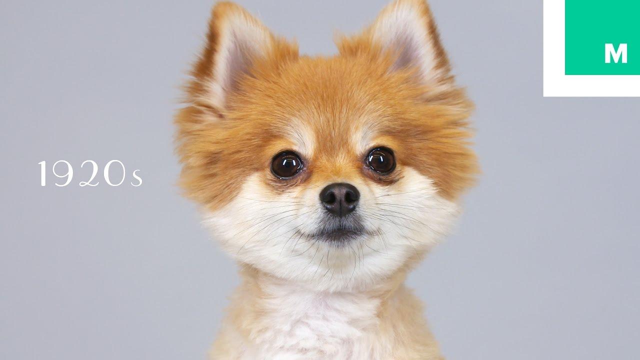 100 Years Of Pomeranian Beauty In 60 Seconds Youtube
