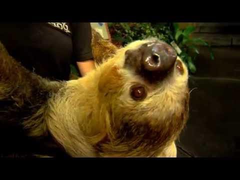 Moe the Sloth - Cincinnati Zoo