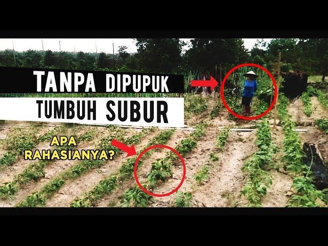 Apa Rahasia Petani Ini? Tanpa Dipupuk Tanaman Bisa Tumbuh Baik