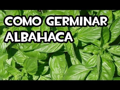 Como germinar albahaca en casa muy facil youtube for Como cultivar peces en casa