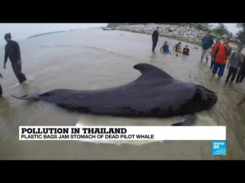Thailand: Plastic bags jam stomach of dead pilot whale