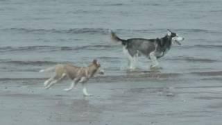 #8: Husky Off-leash Training