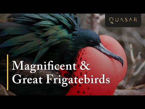Magnificent & Great Frigatebirds Footage In The Galapagos from Quasar
