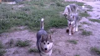 Отдаем двух щенков Хаски........ почти даром))))