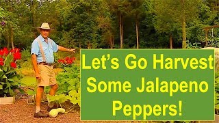 Late-Summer Garden Update 2016: Let's Go Harvest Some Jalapeno Peppers!