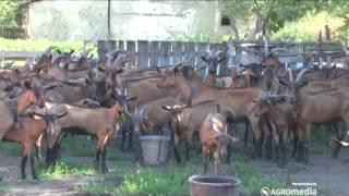 Alpino koze 363