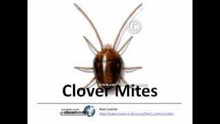 Pest Control Clover Mites and Clover Mite Control