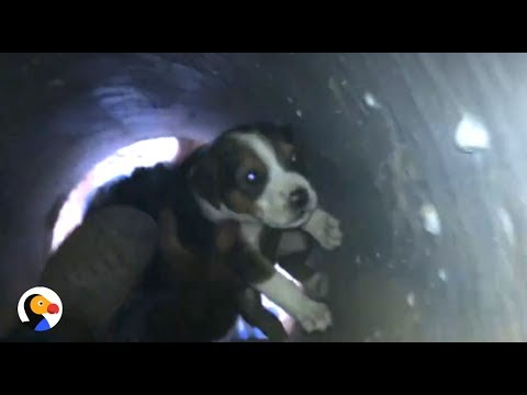 Crying Puppies Stuck In Drain Rescued By Kindest People The Dodo