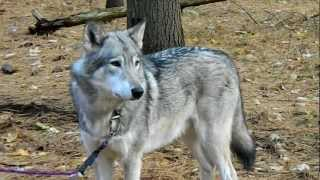 Cree the Timber Wolf howling