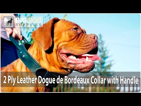 Lovely Dogue de Bordeaux in Stitched 2 Ply Leather Dog Collar with Handle