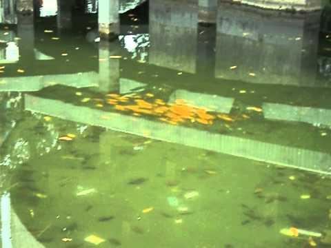 Cá vàng bơi trong bể nước....