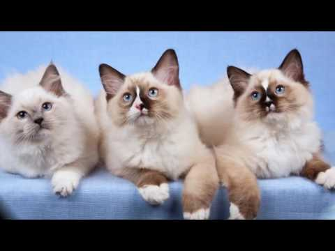 Cat Ragdoll History,Personality,Health,Care