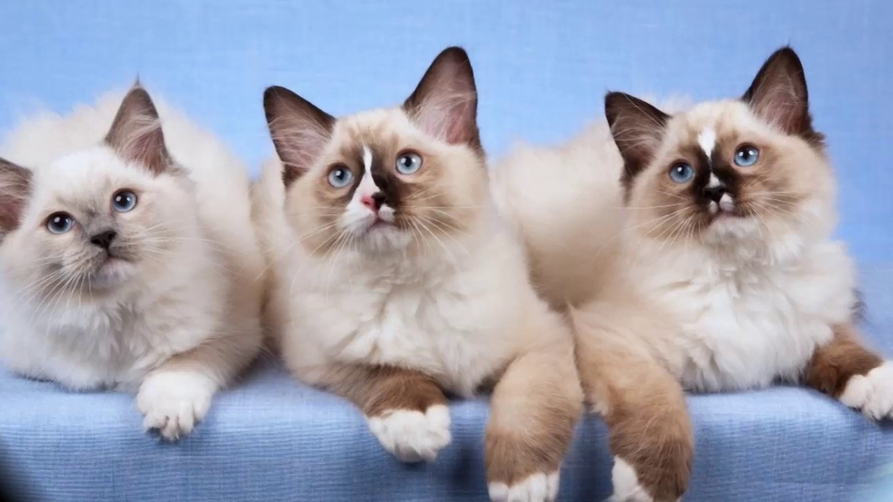 Cat Ragdoll History Personality Health Care