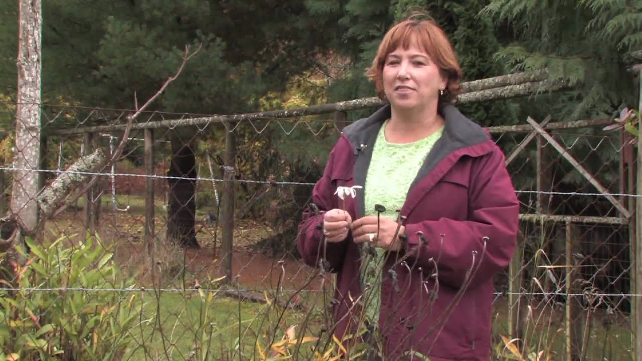 tree u0026 plant care how to prune daisies for winter youtube