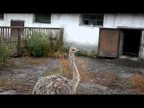 Страусиная ферма, разведение страусов, купить страуса