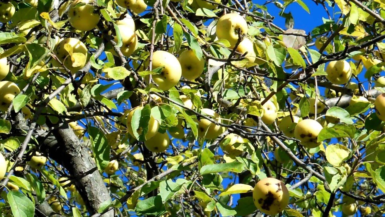 DSCN2924 яблоки на дереве 2 - YouTube