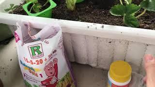 Hướng dẫn trồng dâu tây ( phần 4) bón trực tiếp phân NpK + bón lá kích thích cây phát triển