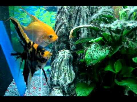 Investigando ando escalar o pez ngel cultivo repro for Cria de peces ornamentales