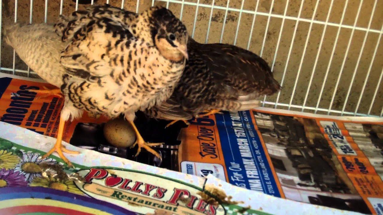 button quail laying egg youtube