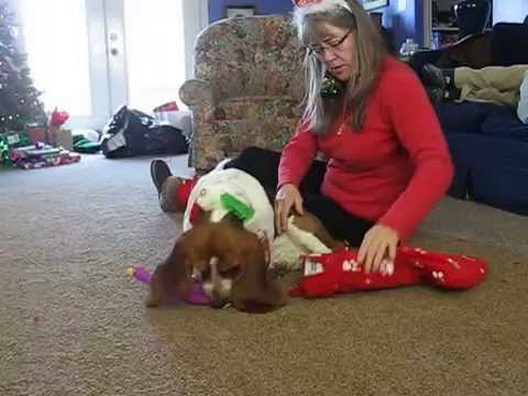 Barnabus the Basset Hound puppy gets his Christmas gift