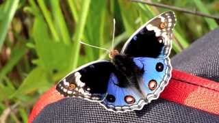 Blue Pansy / Junonia orithya   アオタテハモドキ