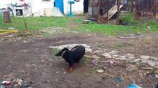 Мото пёс гоняется за хвостом