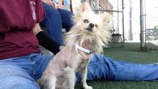 Adopted!!! Permanent Wink. 1 Eyed Pomeranian, 5 Yrs Old Seeking Admirer & Home