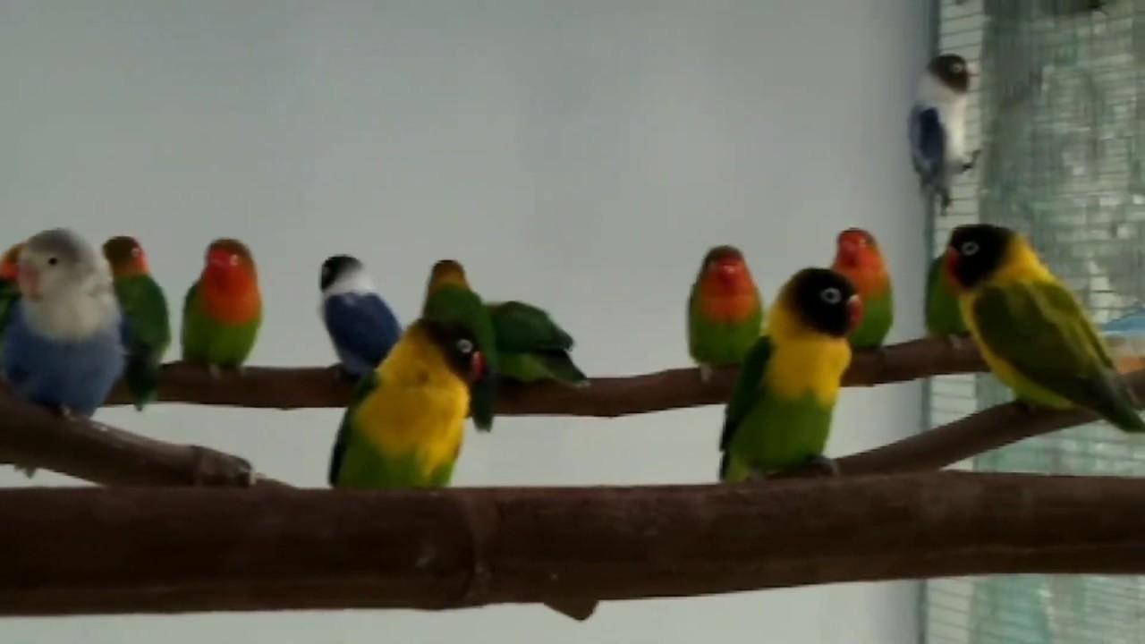 Penampakan Indukan Lovebird Yang Sedang Istirahat Di Kandang Umbaran Aviary Outsite Ko Dros Youtube