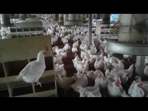 how-to-management-pre-laying-period-of-poultry-farm,-most-exclusive-video-tutorial,-don't-miss