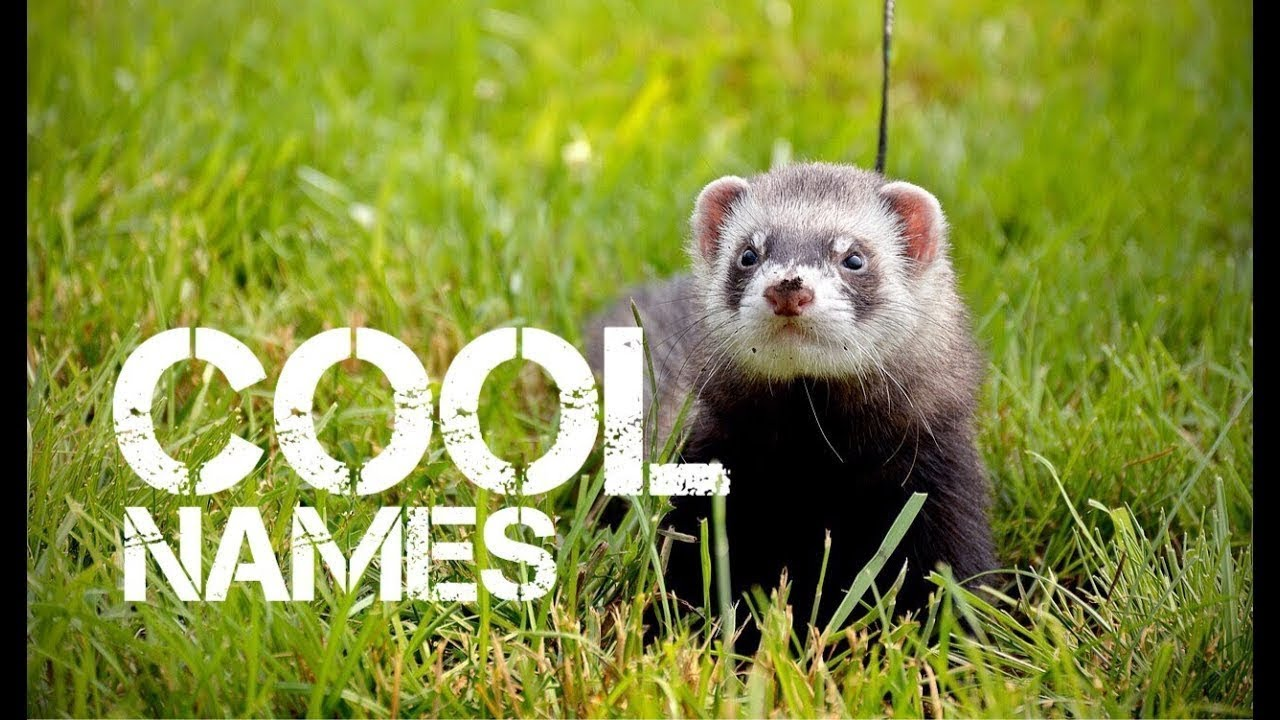 boy ferret names that start with q youtube