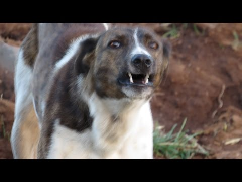 Ifrane:  Man vs. Berber Dogs